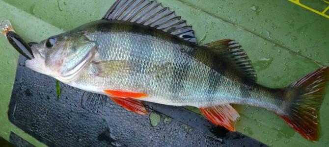 Percas en España, pescando el pez de moda